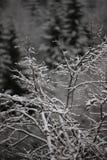 Fundo de árvores geadas no inverno nos Pyrenees Imagem de Stock