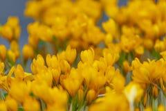 Fundo de açafrões amarelos Fotos de Stock