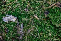 Fundo de agulhas do pinho do musgo na floresta Imagem de Stock