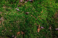 Fundo de agulhas do pinho do musgo na floresta Foto de Stock Royalty Free