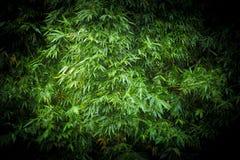 Fundo de bambu da folha fotografia de stock