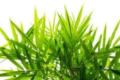 Fundo de bambu da folha Imagens de Stock Royalty Free