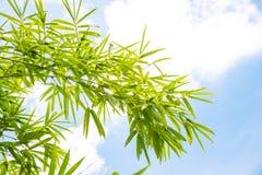 Fundo de bambu da folha Fotografia de Stock Royalty Free