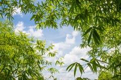 Fundo de bambu da folha Fotos de Stock Royalty Free