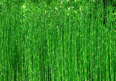 Fundo de bambu da natureza Imagens de Stock