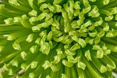Fundo de Chrysantemum Fotos de Stock