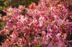 Fundo de flores cor-de-rosa da azálea imagem de stock