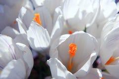 Fundo de flores delicadas das pétalas brancas Fotografia de Stock Royalty Free