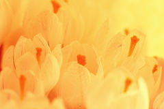 Fundo de flores delicadas das pétalas brancas Imagem de Stock