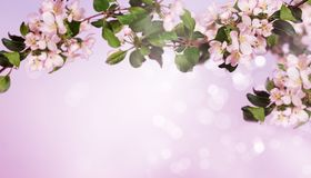 Fundo de florescência da árvore de maçã na primavera Fotos de Stock