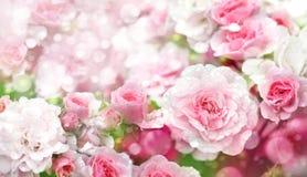 Fundo de florescência das rosas Fotos de Stock Royalty Free
