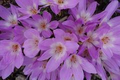 Fundo de florescência de florescência Violet Purple Crocus And Green das flores Foto de Stock