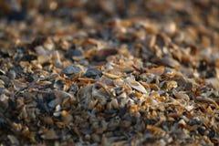 Fundo de fragmentos quebrados da concha do mar no Sandy Beach de Ucrânia do sul Fotografia de Stock Royalty Free