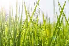 Fundo de gotas de orvalho na grama verde-clara Imagem de Stock