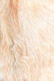 Fundo de lãs da cabra do Boer Fotos de Stock Royalty Free