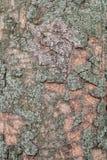 Fundo de madeira da casca Textura da casca de madeira com musgo verde em um tronco de ?rvore fotos de stock royalty free