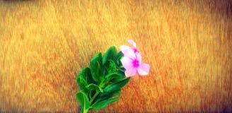 fundo de madeira das flores naturais da pervinca imagens de stock