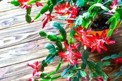 Fundo de madeira delicado U do potenciômetro de flor do zygocactus de Truncata do Schlumbergera do cacto do feriado do caranguejo fotos de stock