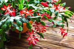 Fundo de madeira delicado U do potenciômetro de flor do zygocactus de Truncata do Schlumbergera do cacto do feriado do caranguejo fotos de stock royalty free