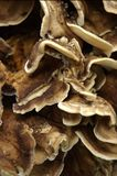 Fundo de madeira do fungo   Imagem de Stock Royalty Free