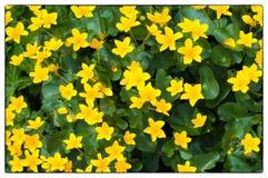 Fundo de Marsh Marigold amarelo Palustris de Marsh Marigold Caltha; igualmente sabido como a prímula, Marsh Marigold amarelo fotografia de stock