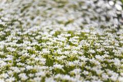 Fundo de muitas flores brancas pequenas no prado Imagem macro com profundidade de campo pequena imagem de stock royalty free