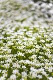 Fundo de muitas flores brancas pequenas no prado Imagem macro com profundidade de campo pequena fotos de stock