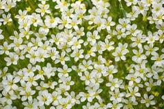 Fundo de muitas flores pequenas brancas na natureza fotografia de stock royalty free