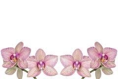 Fundo de orquídeas de florescência Imagem de Stock Royalty Free