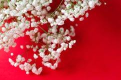 Fundo de papel vermelho com um grande gypsophila branco do ramo fotos de stock