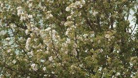 Fundo de ramos de florescência de árvores de Apple video estoque