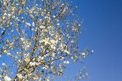 Fundo de ramos de florescência de uma árvore de amêndoa Fotografia de Stock