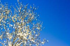 Fundo de ramos de florescência de uma árvore de amêndoa Fotos de Stock