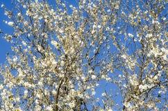 Fundo de ramos de florescência de uma árvore de amêndoa Imagens de Stock Royalty Free