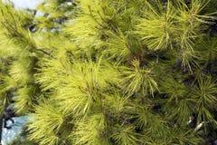 Fundo de ramos verdes do pinho na costa adri?tico fotografia de stock