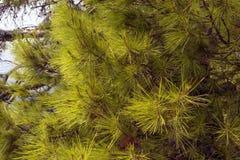 Fundo de ramos verdes do pinho na costa adri?tico fotos de stock