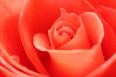 Fundo de Rosa foto de stock royalty free