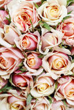 Fundo de Rosa Fotos de Stock Royalty Free