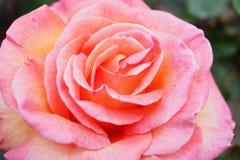 Fundo de Rosa Imagens de Stock