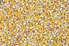 Fundo de sementes de milho Fotos de Stock