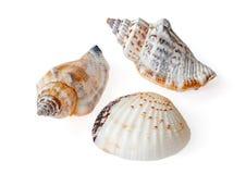 Fundo de Shell Isolated On The White do mar foto de stock royalty free