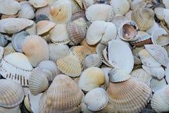 Fundo de shell pequenos do mar, close up Fotografia de Stock Royalty Free
