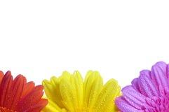 Fundo de três flores Fotografia de Stock Royalty Free