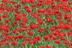 Fundo de tulipas do vermelho da mola imagem de stock royalty free