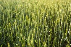 Fundo de um campo de trigo verde, spikelets na luz solar fotos de stock royalty free