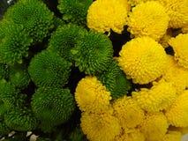 Fundo de um ramalhete do grande crisântemo bicolor Fotografia de Stock Royalty Free