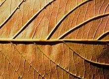 Fundo de uma folha do outono na luz solar Fotos de Stock
