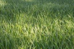 Fundo de uma grama verde Grama verde da textura da grama verde fotografia de stock royalty free