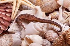 Fundo de vários conchas do mar, estrela do mar e cavalo marinho Imagem de Stock