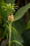Fundo decorativo crescido do abacaxi fruto fresco Foto de Stock